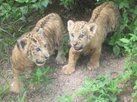 Safari Park Lion Cubs