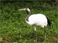 Safari Park Red-crowned Crane