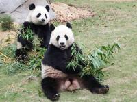 Seven Star Park Pandas Eating Bamboo