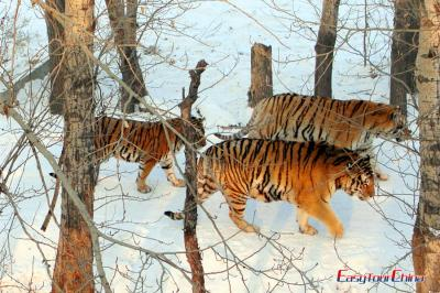 Tigers in Siberian Tiger Park