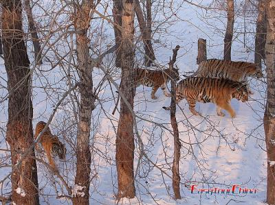 Picture of Tigers in Harbin Siberian Tiger Park
