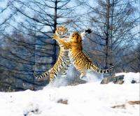 Siberian Tiger Park Tiger Fighting
