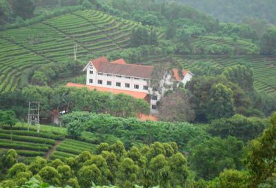 Yannanfei Tea Field