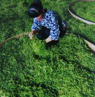 Making Lushan Yunwu Tea