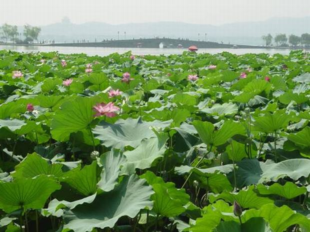 West Lake Lotus
