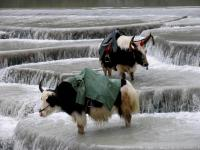 White Water River Yaks