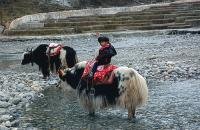 Boy Riding Yak