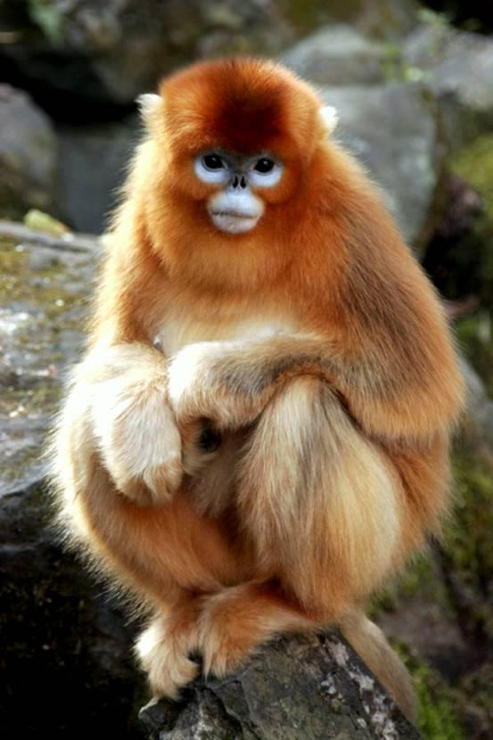 Golden Monkey Wildlife At Yangtze Drainage Area Yangtze