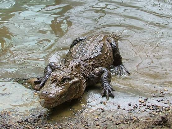 Yangtze Alligator Wildlife At Yangtze Drainage Area