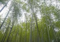 bamboo forest wuyishan