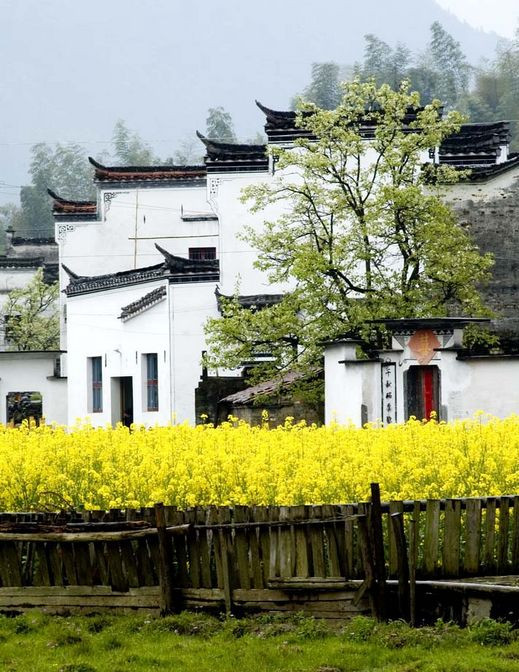Rapeseed Flowers & Hui-style Houses