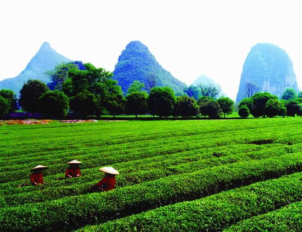 Yao Mountain nerarby Tea Farm