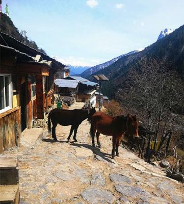 Horses at Yubeng Village Yunnan