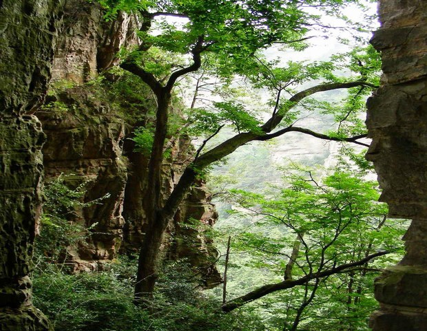 Trees of Zhangjiajie National Forest Park